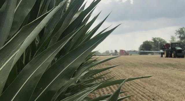 Corn husk on a farm field
